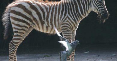 Eine Taube zu Gast beim Zebra